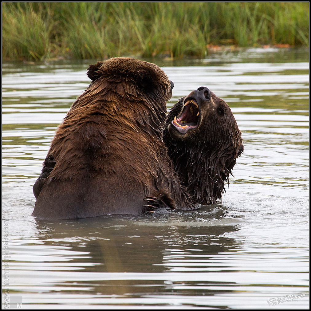 grizzley fight