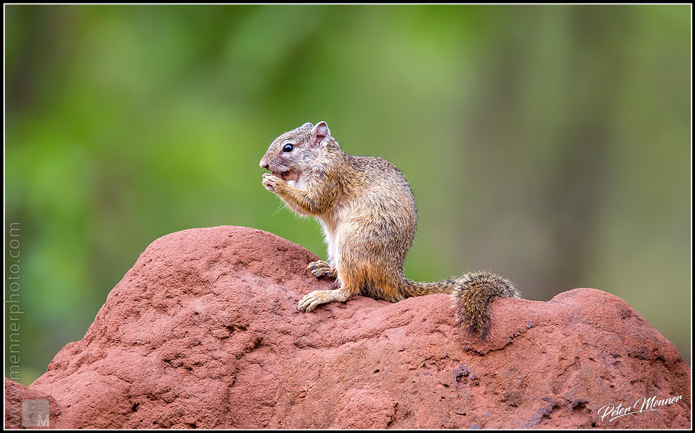 african bush squirrel