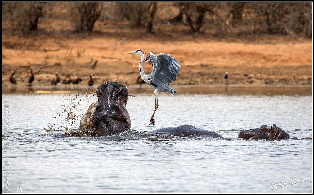 hippo and heron