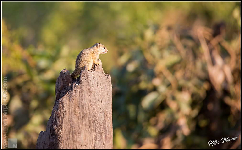 bush squirrel