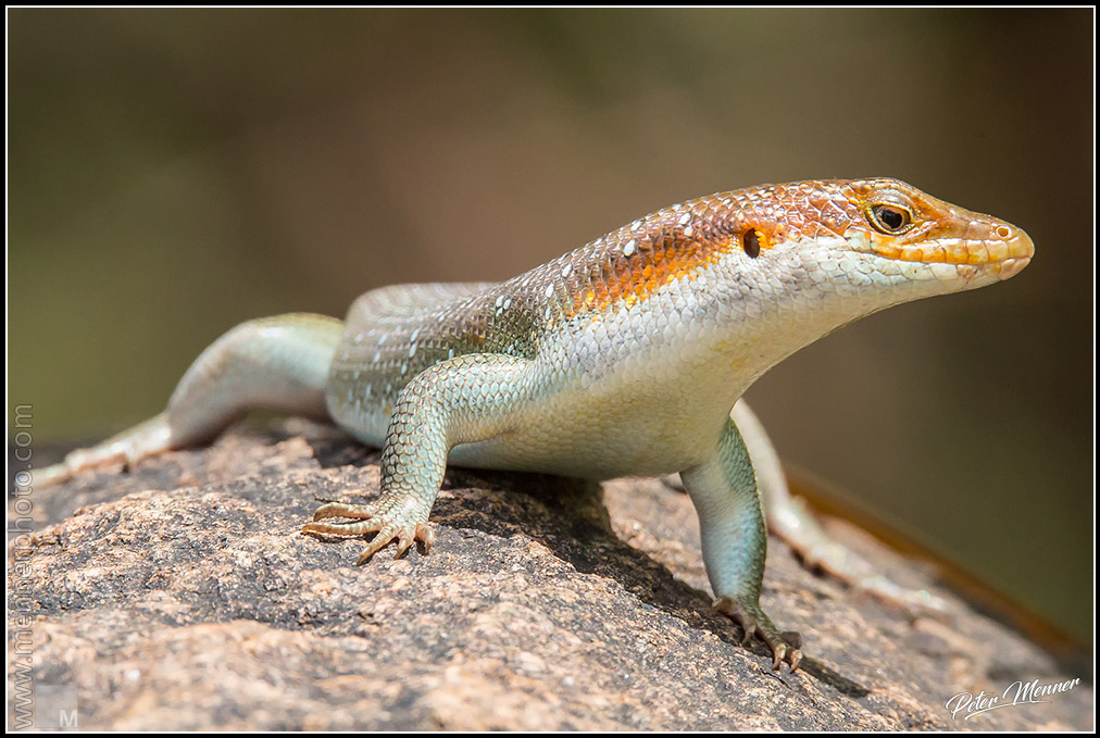 wl knp 2017 2 rainbow rock skink 03
